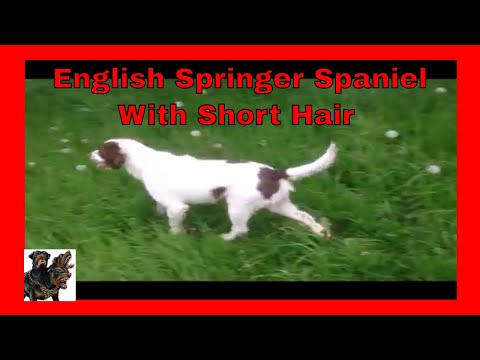 Archie English Springer Spaniel ( with short hair )