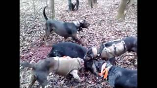 HOG HUNTING WITH LEOPARD CUR DOGS