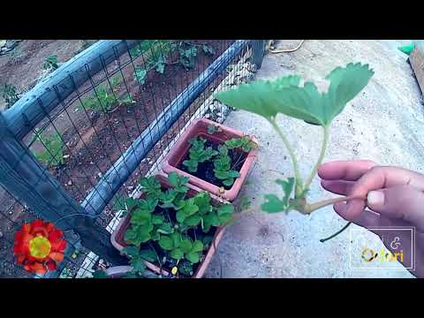Fiori odori coltivare le fragole in vaso for Coltivare more in vaso