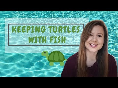 Stink Pot Turtles And RES Turtle Living With Fish