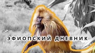 Гелада — бабуин «Кровоточащее сердце» - Эфиопский дневник №05(