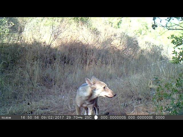 Uno dei cuccioli di lupo nati nell'Oasi Lipu di Castel di Guido