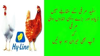 Zayada Dasi Anday dany wali murgi ( How to Increase chicken Egg Production)