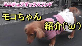 【ミニチュアダックス】ドッグハウスのモコちゃん紹介(*''ω''*)