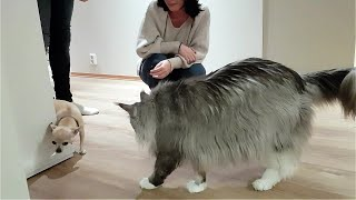 Maine Coon Felix and a little dog. A Chihuahua
