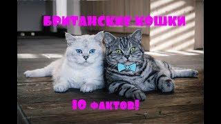 10 фактов о британских кошках. Британские кошки. Интересные факты о британской породе
