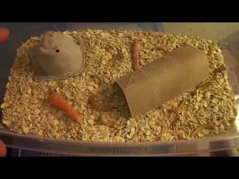 Mealworm & Superworm - Starting and Raising a Breeding, Sustaniable Colony