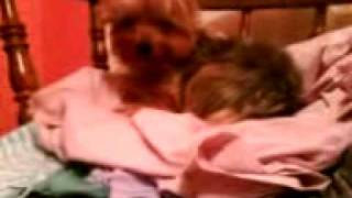 Yorkshire Terrier Sleeping On Top A Pile Of Clothes
