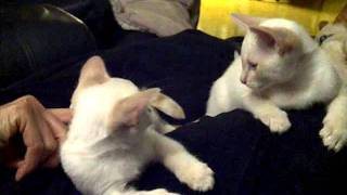 Flame Point Siamese Kittens