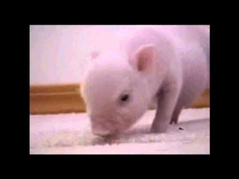 Baby pig , OINK .. OINK .. OINK - YouTube