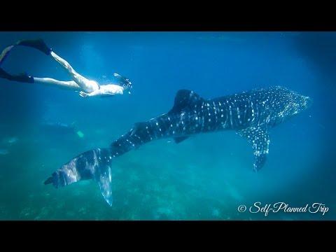 Oslob Whale Sharks Watching - Cebu, Philippines