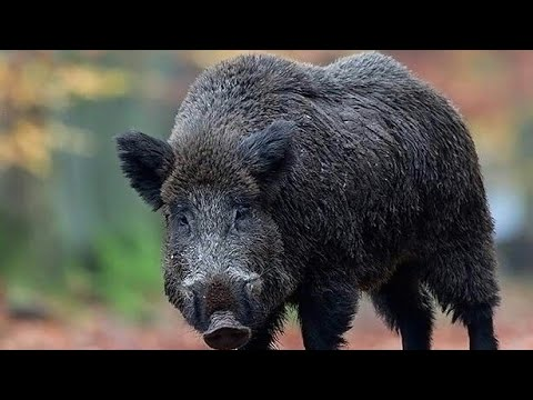 Hunting Giant Wild Boar,wildschweinjagd,Chasse Sanglier ...Giant Wild Boar