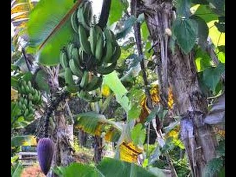 Cultivo Artesanal de Banano por campesinos - TvAgro por Juan Gonzalo Angel