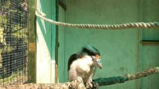Gigi my kookaburra calling