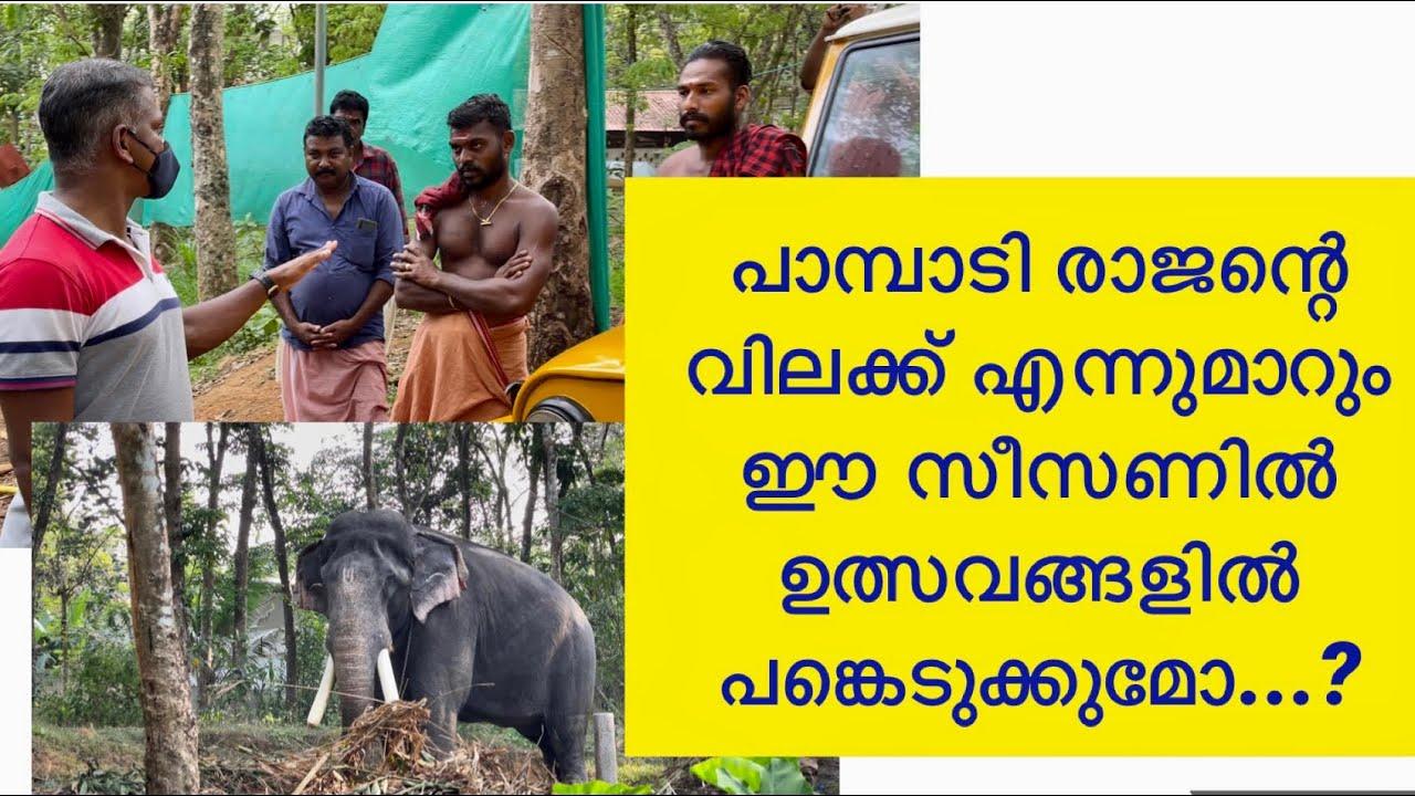 Pampady Rajan വിലക്ക് എന്ന് തീരും ഈസീസണിൽ ഉത്സവങ്ങളിൽ പങ്കെടുപ്പിക്കാൻ പറ്റുമോ#keralaelephant#rajan#