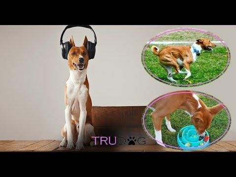 The Ultimate Guide To Caring For The Basenji