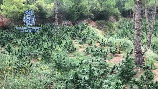 Desarticulada una organización criminal que cultivaba y distribuía marihuana
