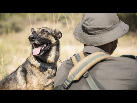 Allie The Dog Hunts Rhino Poachers In South Africa