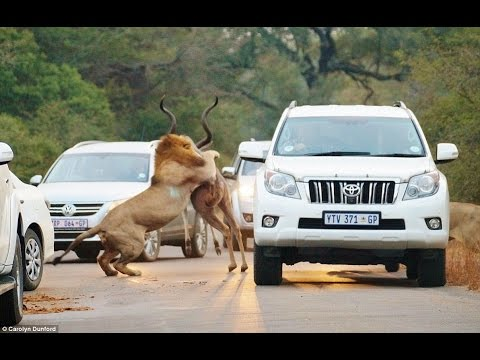 lions attack car full of people compilation full hd 2015 youtube