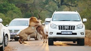 Lions Attack Car Full Of People Compilation Full HD 2015