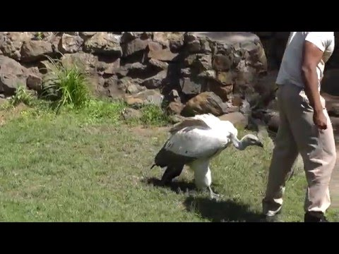 Cape vulture at Umgeni River Bird Park, Durban, South Africa