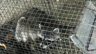 Parent says teacher drowned raccoons during class