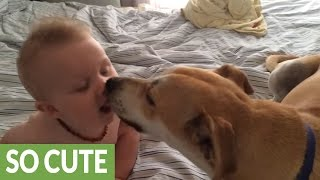 Baby thrilled to receive kisses from doggy fr...
