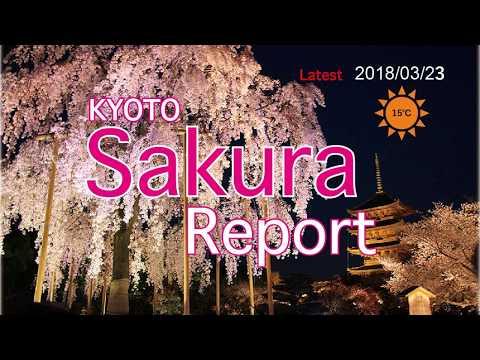 Kyoto Sakura report 2018/03/23
