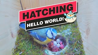 """Hatching of Blue Tits """"Mini & Pip"""" - Recke, Germany - May 22, 2021"""