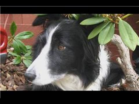 Dog Breeds & Dog Training : How to Care for a Border Collie