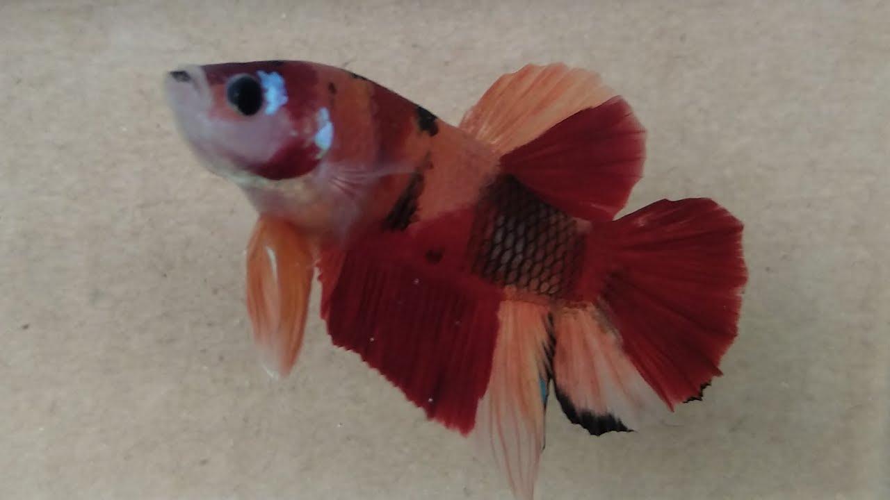 Ikan Cupang Plakat Nemo Clasik - YouTube