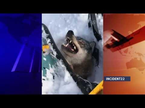 Очередной живодер снял на видео издевательство над волком