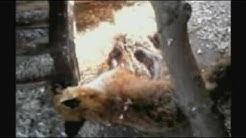 Chickens 'kill fox'