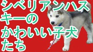 犬 シベリアンハスキー 子犬 かわいい 収入を得て、シベリアンハスキー...