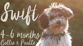 Swift   Border Collie x Poodle [46 months]