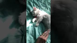 Priceless Yorkie Puppy Our adorable White Persian Kitten