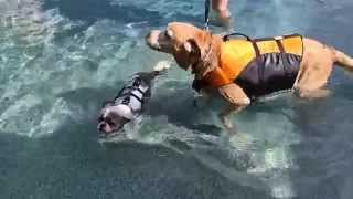 Lab Labrador Retriever Dakota & Shih Tzu Rio Swim Together In The Swimming Pool