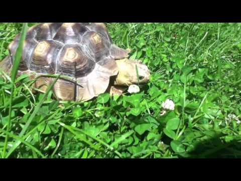 My tortuous eating grass