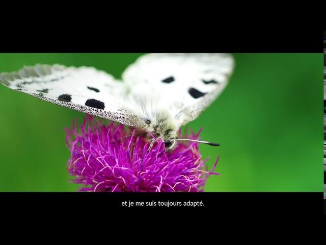Le papillon Apollon  une sentinelle du changement climatique