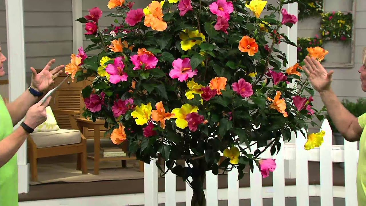 cottage farms key west sunset braided hibiscus patio tree on qvc rh youtube com cottage farm plants and flowers cottage farms plant sale
