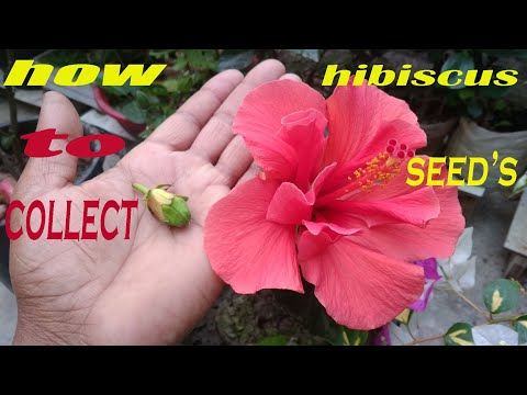 Repeat How To Collect Hibiscus Seedshibiscus Seeds By Tr Roy