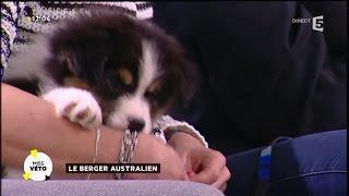 Le berger australien, nouveau chouchou des Français