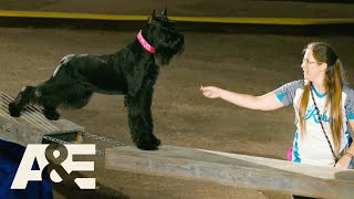 'Rebel' The Giant Schnauzer Lives Up To Her Name With WILD Run | America's Top Dog | A&E