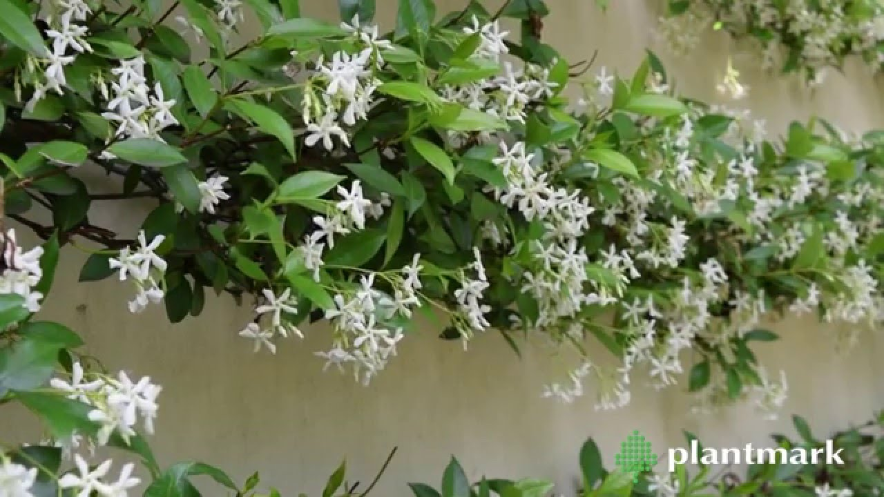 Trachelospermum jasminoides chinese star jasmine at - Watch over the garden wall online free ...