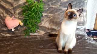 Тайская кошечка Kassiopeja, окрас сил пойнт, ищет хозяев!