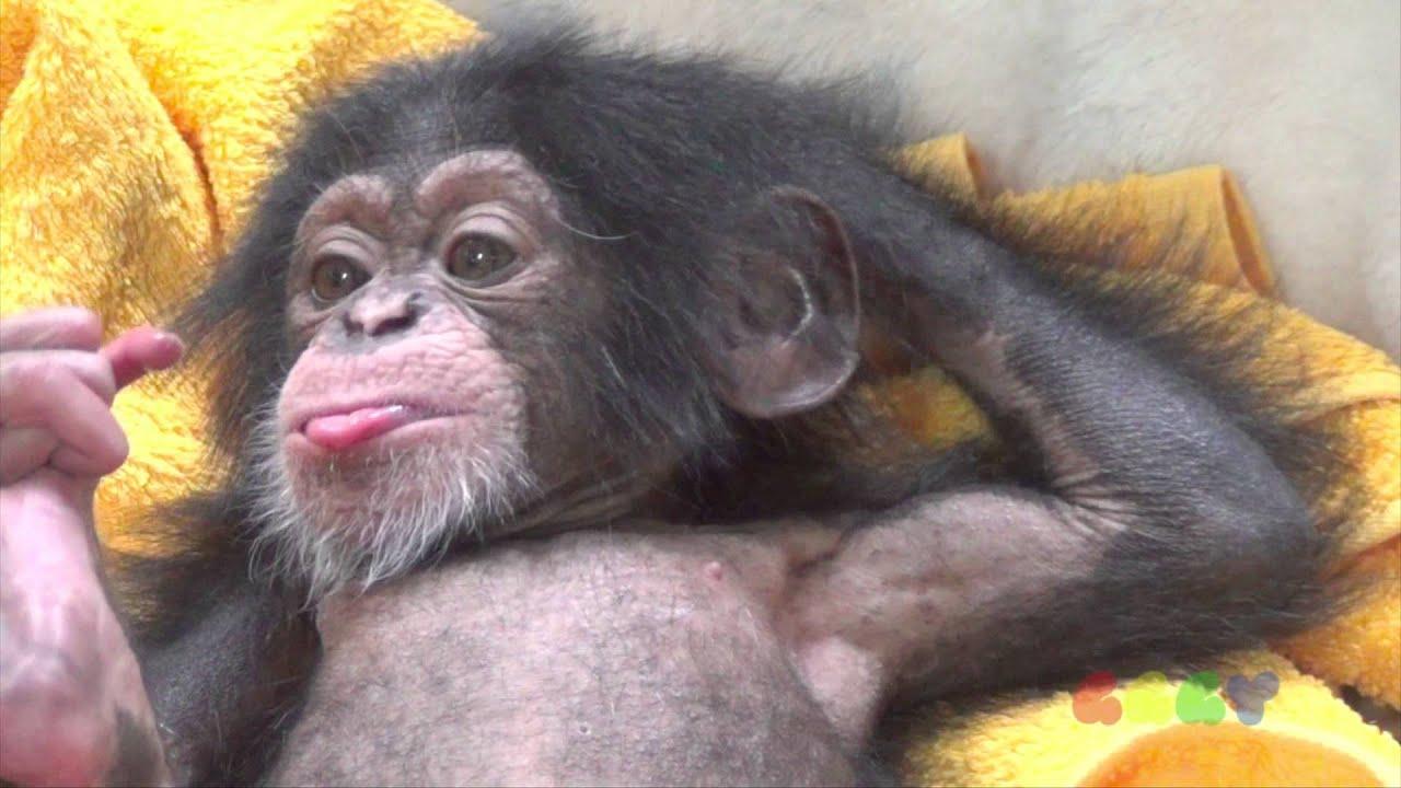 아기 침팬지 ( Baby Chimp ) - YouTube