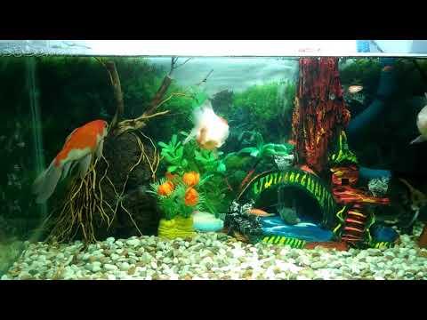 Aquarium Ikan Mas Koki 2
