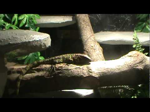Caiman lizard enclosure - photo#10