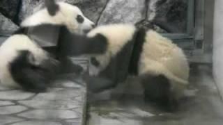 baby twin panda