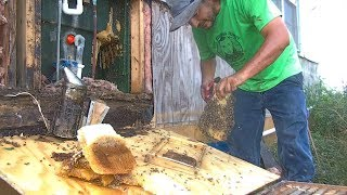 Honey Bee hive Removal in Elsa, TX by Luis Slayton of Bee Strong Honey